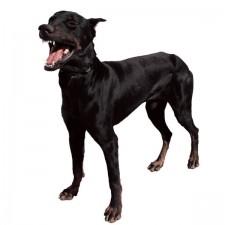 chiennoir
